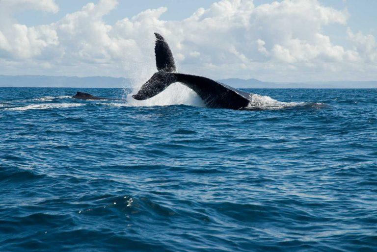 Afrique - Madagascar- Sainte-Marie - Une baleine à bosse en pleine parade nuptiale.