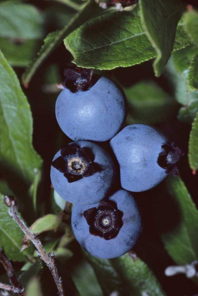 Canada Québec Saguenay - Le fameux bleuet se savoure à toutes les sauces.
