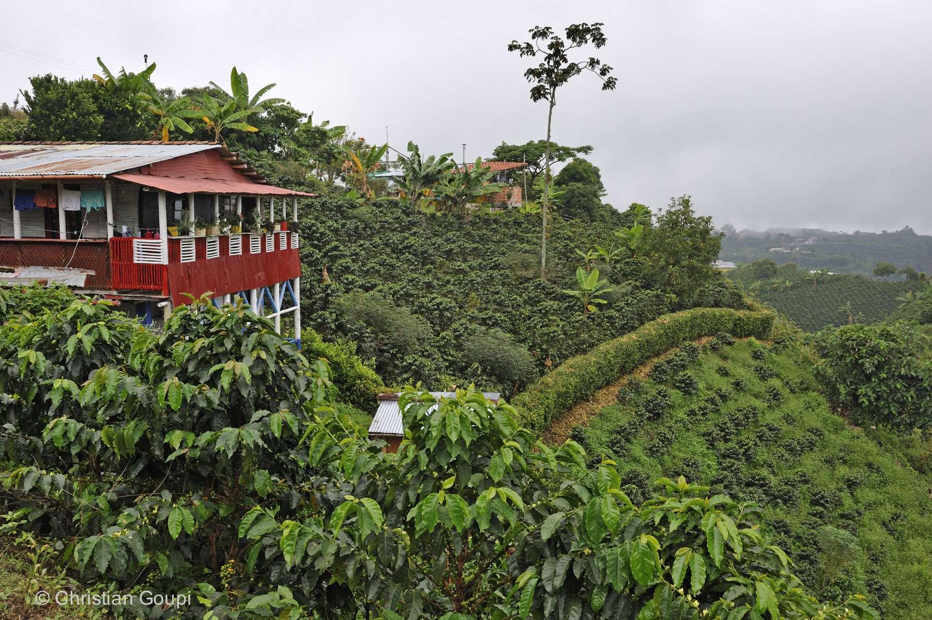 Colombie - Une plantation de café de la région d'Arménia, dans la cordillère centrale.