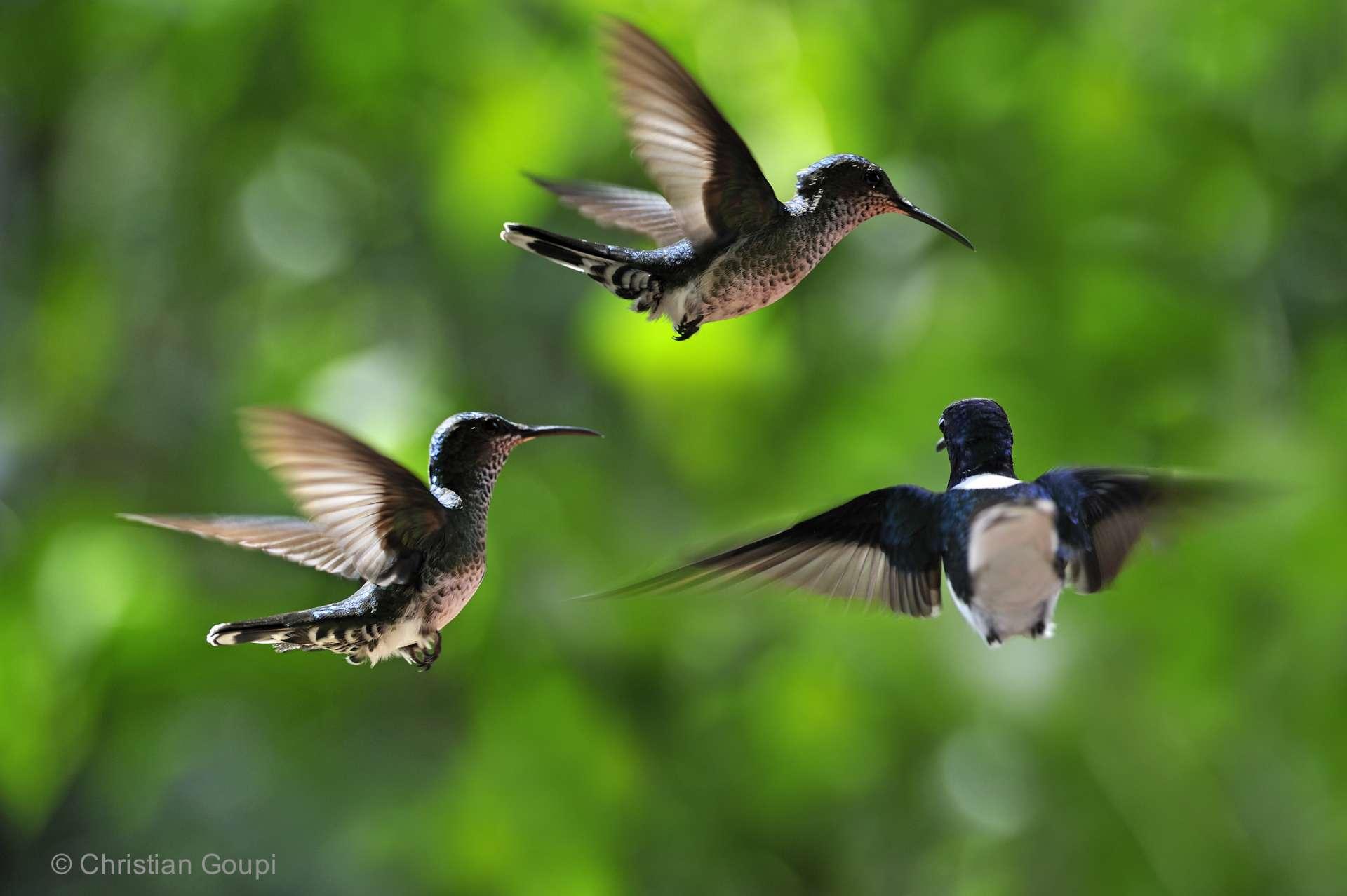 Panama - Vol de colibris jacobin (florisuga mellivora) au parc national de Soberaina. Ces oiseaux nectarivores pèsent environ 6 grammes pièce.