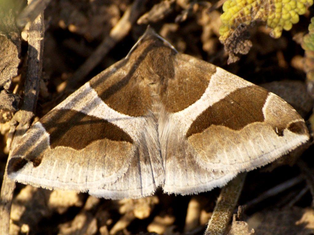 Papillon de nuit La Passagère (Dysgonia Algira), découvert par George Sand à Gargilesse, dans la Vallée de la Creuse