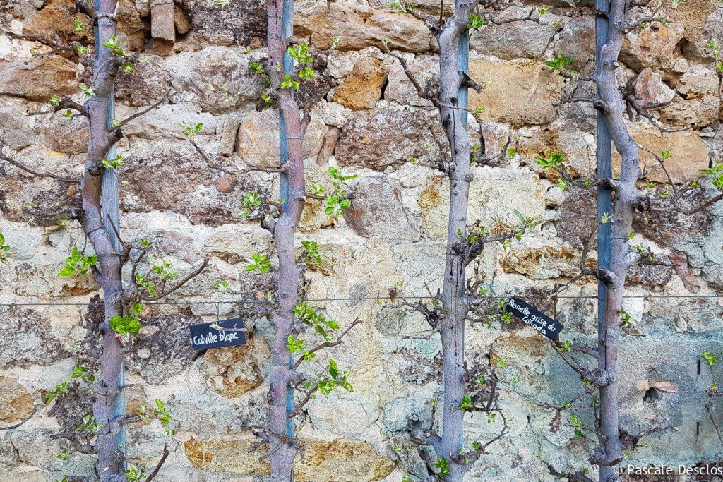 Pommiers palissés aux Jardins du Prieuré d'Orsans, Maisonnais, Berry