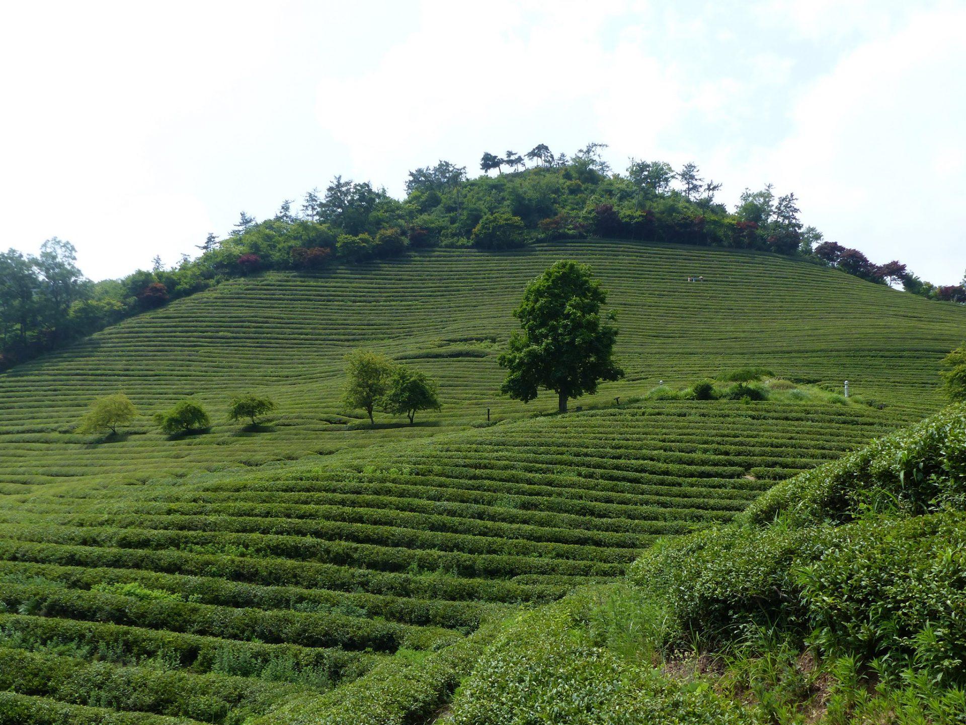 """Keep calm & drink tea"". Boseong, Corée du Sud. Photo Charles Petitjean"