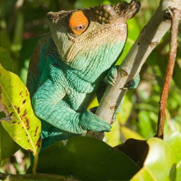Afrique - Madagascar- Sainte-Marie - Rencontre avec les caméléons du parc Endemika