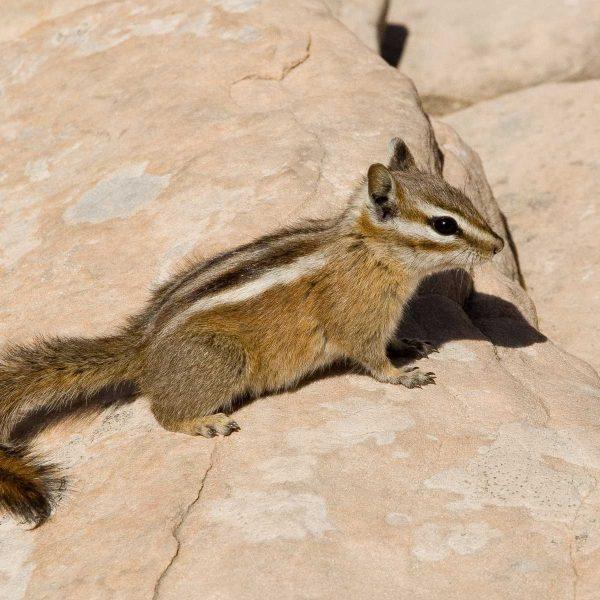 Etats-unis - Parcs de l'Utah - Rencontre avec un tamia à Zion National Park