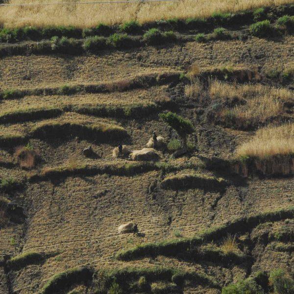 Ethiopie - Cultures dans la région de Lalibela.