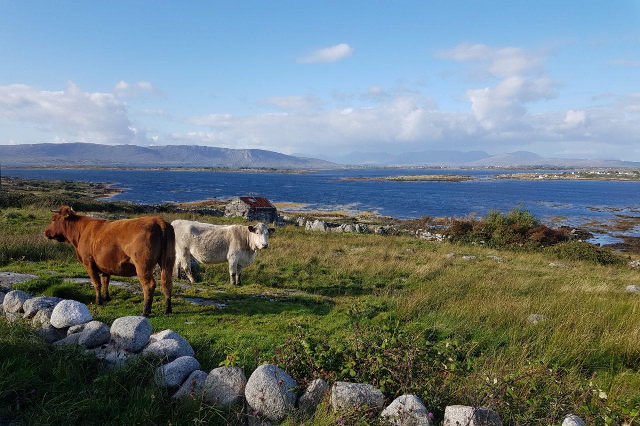 irlande-connemara-lettermulan-vaches-mer-1