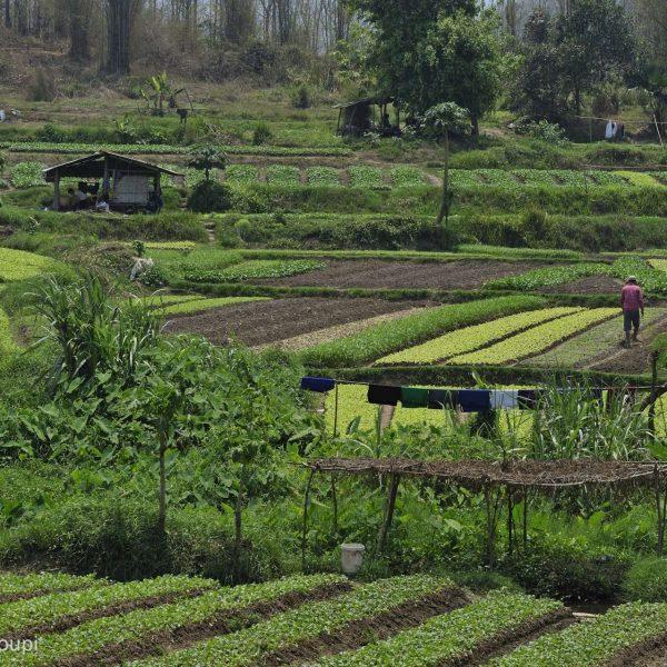 Laos - Randonnée à travers potagers et champs de tabac autour de Nong Kiaw.