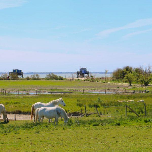 Chevaux, moutons et carrelets... Ambiance bucolique et maritime de l'île Madame.