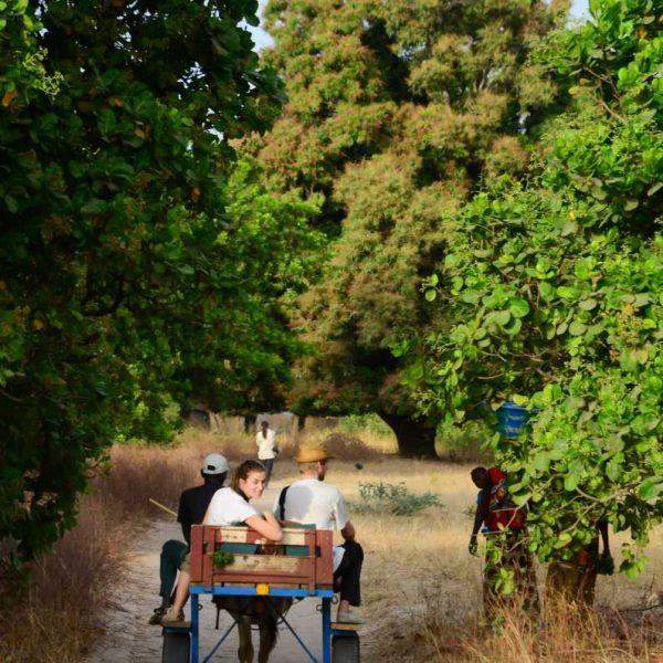 Promenade en carriole entre les anacardiers.